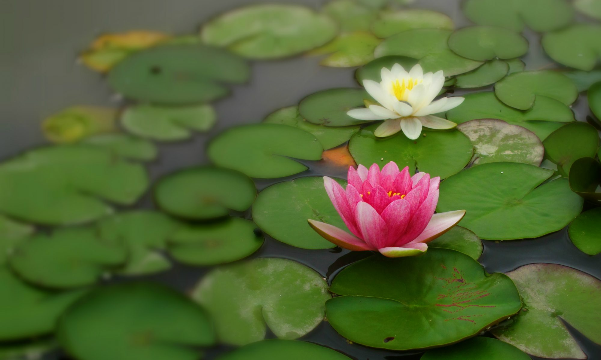 Dancing With Lotus